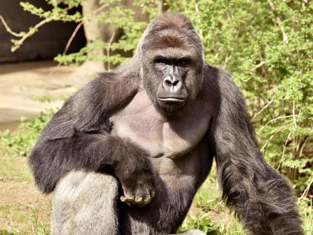 Khỉ đột Harambe