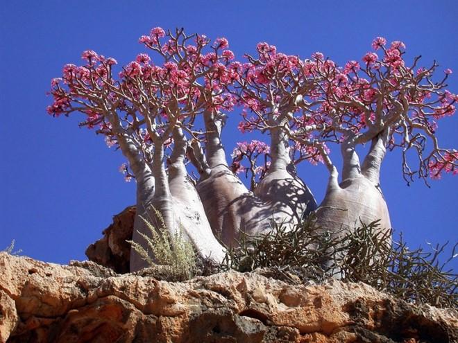 Cây Bottle tại đảo Socotra, tây bắc Ấn Độ Dương. Ảnh: Pinterest.