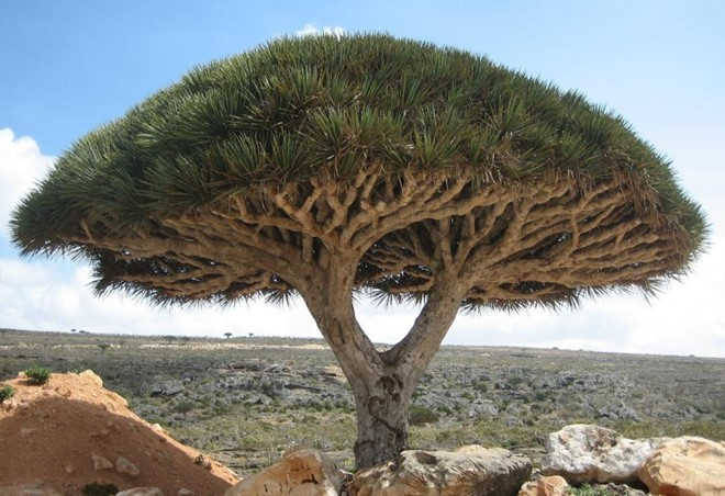 Một cây rồng tại đảo Socotra, tây bắc Ấn Độ Dương. Ảnh: Verbaliststravel.