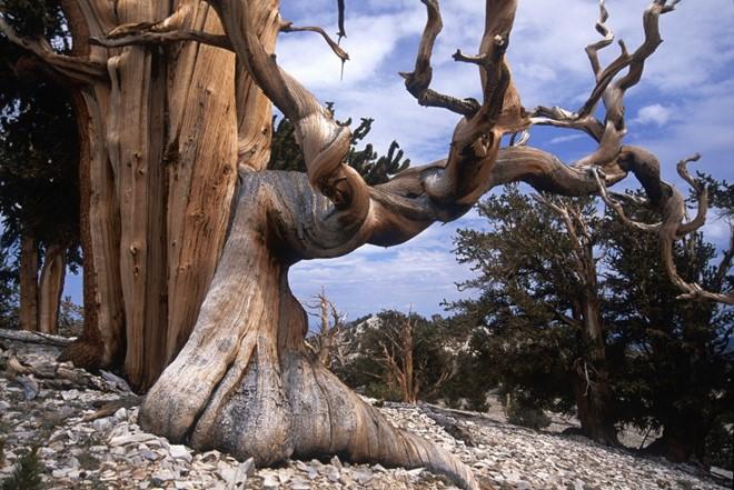 Cây thông nón gai là cây già nhất trên trái đất, nằm trên núi Trắng, bang California, Mỹ. Ảnh: Pinterest.