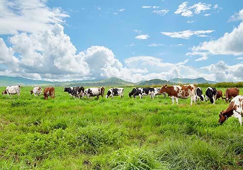Vinamilk sản xuất sữa tươi Vinamilk 100% organic cao cấp