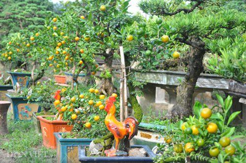 Vườn quất ghép cần thăng bonsai độc nhất vô nhị ở Thủ đô
