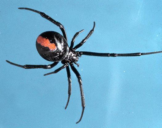 Nhện lưng đỏ, loài nhện cắn anh Jordan trong lần đầu tiên. Ảnh: Mike Gray