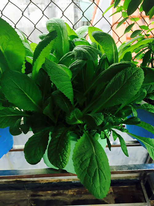 Một khóm rau cải xanh tốt, mơn mởn lá non