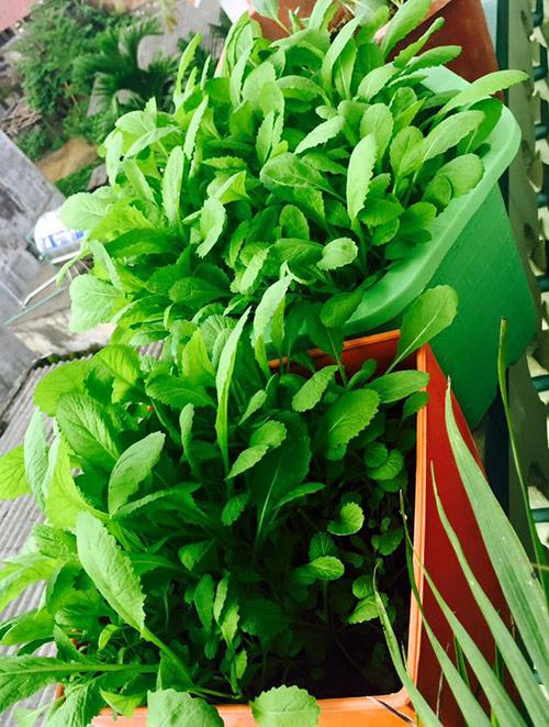 Chị Hòa trồng rau cải trong chậu nhựa đủ màu sắc