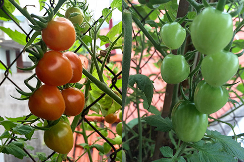 Trái cà chua xanh- chín vỏ bóng mượt và trĩu quả