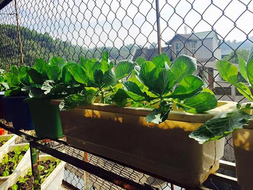 Bắp cải lại giống cây ưa sáng, được đặt ở nơi có nhiều ánh nắng
