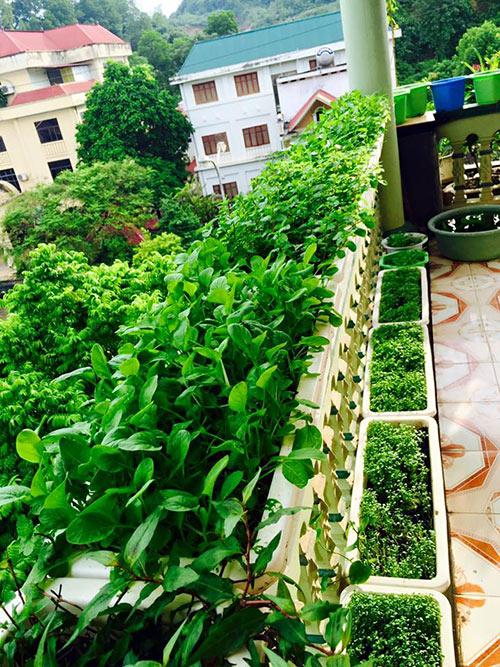 Một mặt thành tường trên ban công trồng rau sạch của gia đình chị Hòa