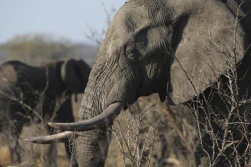 Thiếu tiền mặt, Zimbabwe bán 35 con voi cho Trung Quốc. Ảnh minh họa: AP