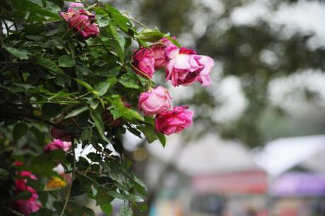 Nhiều hoa tươi đã bị héo ngay ngày đầu khai mạc - Ảnh: Thành Đạt