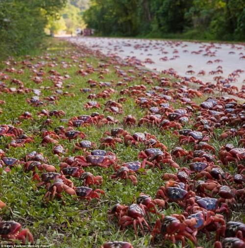 Cuộc di cư 'rầm rộ' của hàng triệu con cua đỏ - Ảnh 2.
