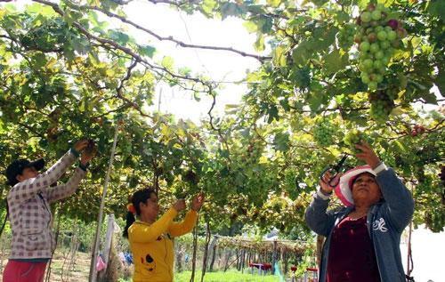 Ninh Thuận trồng nho công nghệ cao - Ảnh 1.