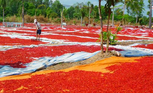 Không bán được, nhiều nông dân đã phơi ớt khô để trữ chờ giá cao lên sẽ bán. Ảnh: THỐT NỐT