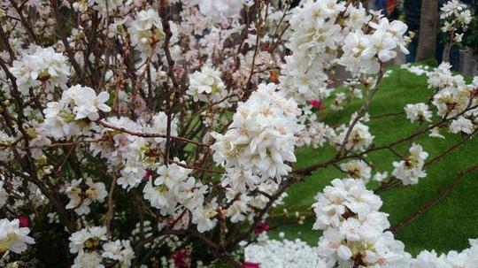 Những cánh hoa anh đào Nhật Bản trắng tinh khôi nở rộ trong mưa xuân Hà Nội