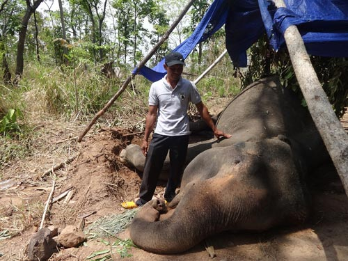 Một con voi nhà đã chết ở tỉnh Đắk Lắk