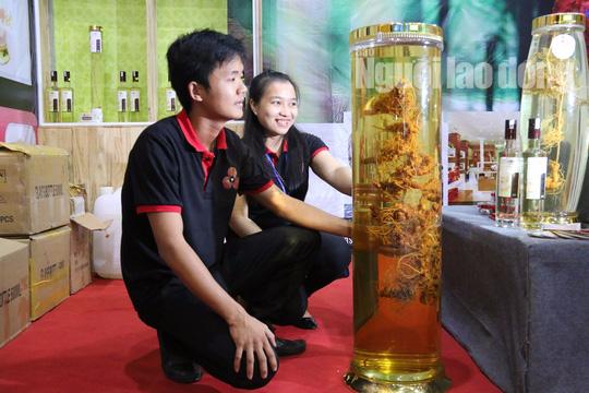 Sâm Ngọc Linh gần 100 triệu/kg vẫn đắt như tôm tươi - Ảnh 1.
