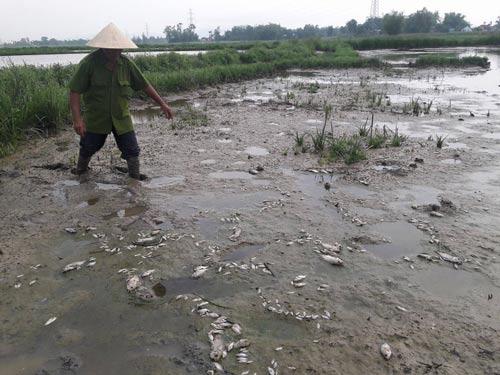 Cá rô phi chết hàng loạt trên cánh đồng ở xã Hòa Tiến
