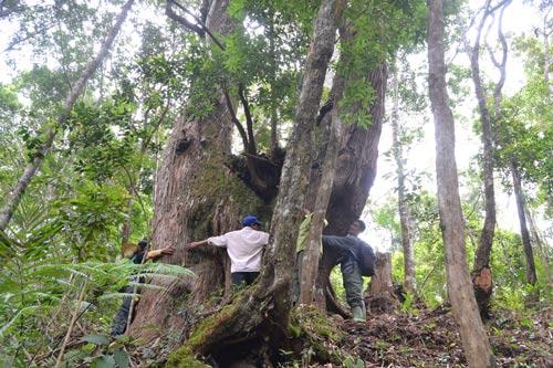 Một cây pơ mu quý trong quần thể Cây di sản Việt Nam ở huyện Tây Giang