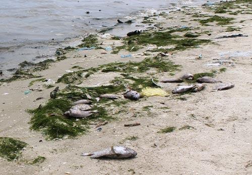 Thủy sản chết hàng loạt cạnh Nhà máy Đường Khánh Hòa