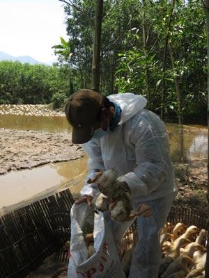Cơ quan chức năng tỉnh Thừa Thiên - Huế tiêu hủy vịt bệnh
