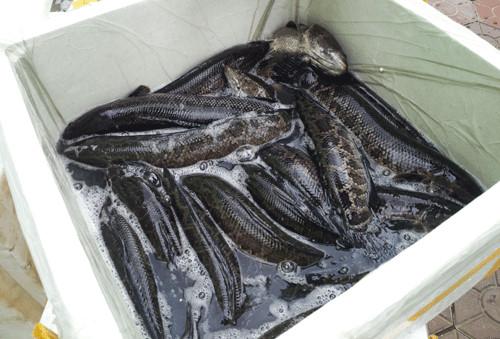 Cá Trung Quốc ngậm hóa chất kích thích bán tại Việt Nam - Ảnh 1.