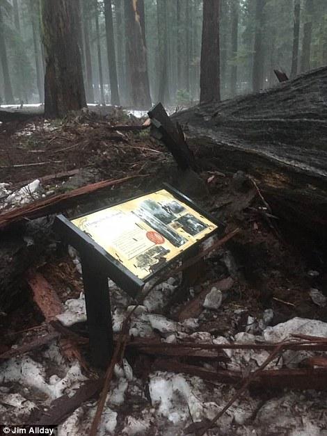 Lũ lớn khiến cây đại cổ thụ sống qua hàng thế kỷ ngã gục. Ảnh: Jim Allday