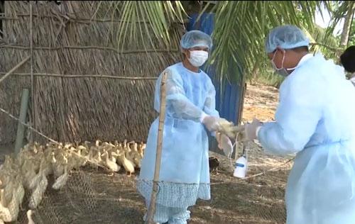 Ngành thú y huyện Phước Long, tỉnh Bạc Liêu tổ chức tiêm phòng gia cầm sau khi phát hiện 5 ổ dịch Ảnh: DUY NHÂN