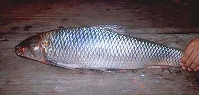 Cá duồng bay, đặc sản Đồng Nai là sinh vật thế nào? - Ảnh 5.