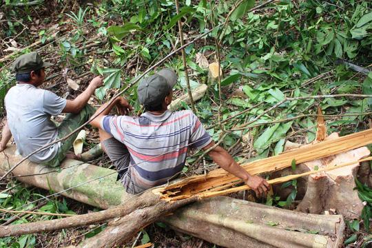 Hiện trường đốn hạ cây rừng tự nhiên để triển khai dự án nuôi bò của Công ty CP Chăn nuôi Thảo Nguyên Phú Yên - Ảnh: ĐỨC NHUẬN