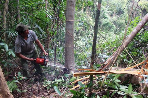 Nhiều cây gỗ lớn đang bị triệt hạ tại Tiểu khu 310
