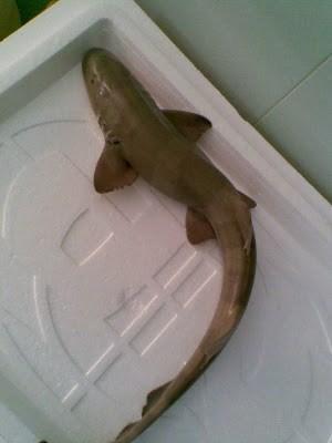 """Sự thật về loài cá nghéo, mệnh danh """"thủy quái"""" biển Đông - Ảnh 7."""