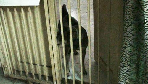 Một con chó được nuôi trong chung cư Phan Văn Trị, quận 5, TP HCM
