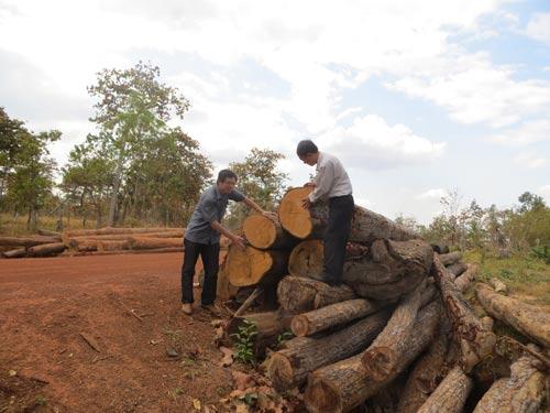 Bất chấp lệnh đóng cửa rừng, rừng tại huyện Ea Súp, tỉnh Đắk Lắk vẫn bị tàn phá Ảnh: Cao Nguyên