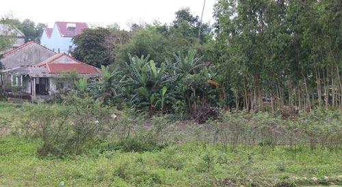 Cây mai dương xâm lấn vào tận vườn của dân ở thôn Sơn Viên, xã Duy Nghĩa, huyện Duy Xuyên, tỉnh Quảng Nam Ảnh: TRẦN THƯỜNG