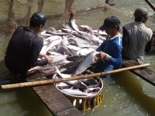 Cần quy hoạch lại diện tích nuôi cá tra