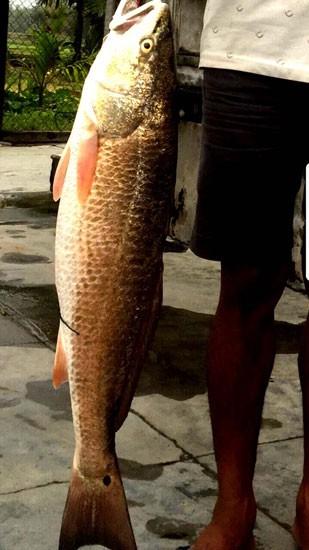"""Bình Định: Bắt được """"cá lạ"""" 5 kg nghi cá sủ vàng - Ảnh 1."""