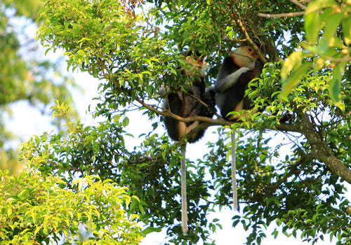 """Bán đảo Sơn Trà được xem là """"lá phổi xanh"""" của TP Đà Nẵng và hiện còn 300 cá thể voọc chà vá chân nâu sinh sốngẢnh: VĂN ĐÔNG"""
