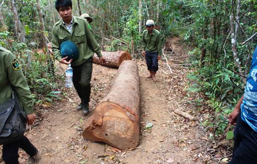 Số gỗ còn lại sau khi bị lâm tặc cướp đi những lóng gỗ tốt