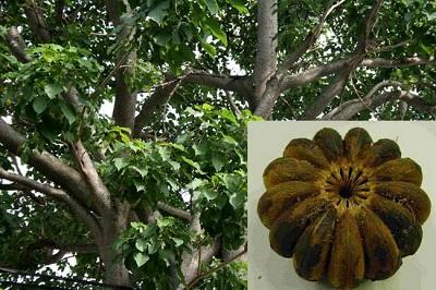 Cây và quả cây ngô đồng - Ảnh minh họa