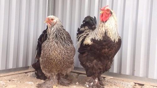 Cặp gà kỳ lân giá 30 triệu đồng.