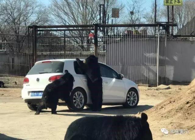 Con gấu đen cố gắng thò móng vuốt qua khe cửa kính ôtô. Ảnh: Shanghaiist.