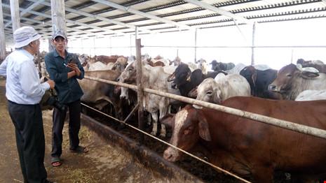 Trang trại vỗ béo bò Úc ở Long An. Ảnh: QH