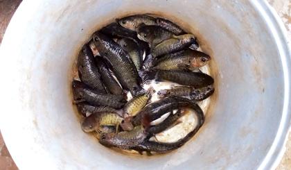 Nôn nao với mùa cá lên đồng - Ảnh 2.