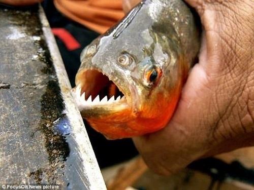 Cá ăn thịt tấn công hàng loạt du khách trong resort Brazil - Ảnh 1.