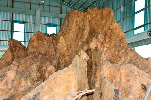 Kỳ bí gốc bàng như hang động được trả 35 tỉ ở Sóc Trăng - Ảnh 1.