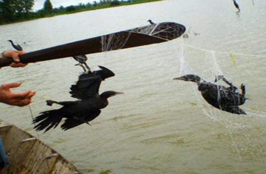 Xót cảnh những cánh chim trời thất thủ - Ảnh 1.