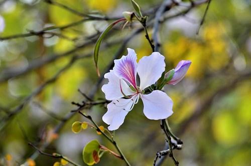 Cánh hoa ban mềm mại như cánh bướm, e ấp sau những đợt nắng đầu mùa