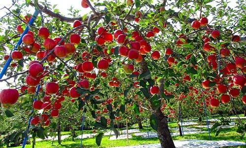 Đột nhập vườn táo Aomori Nhật Bản đã có bán ở Việt Nam - Ảnh 11.