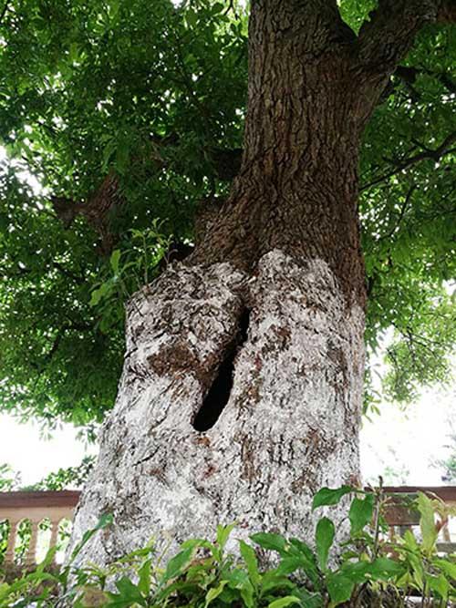 Bí mật về 4 cụ cây 700 tuổi ở Đồng Tâm - Ảnh 4.