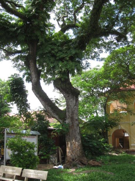 Những cổ cây có 1 không 2 ở Sóc Trăng - Ảnh 15.